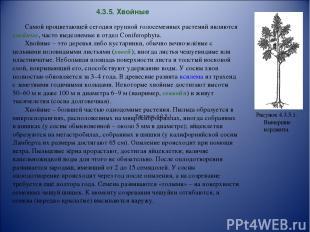 4.3.5. Хвойные Самой процветающей сегодня группой голосеменных растений являются
