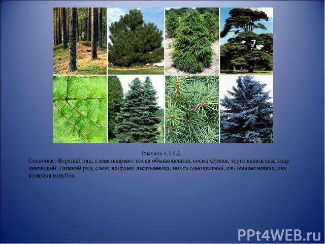 Рисунок 4.3.5.2. Сосновые. Верхний ряд, слева направо: сосна обыкновенная, сосна чёрная, тсуга канадская, кедр ливанский. Нижний ряд, слева направо: лиственница, пихта одноцветная, ель обыкновенная, ель колючая голубая.