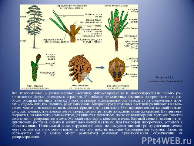 Все голосеменные – разноспоровые растения; микроспорофиллы и макроспорофиллы сильно раз-личаются по форме, размерам и строению. У наиболее примитивных семенных папоротников они сво-бодно росли на обычных побегах; у всех остальных голосеменных они на…