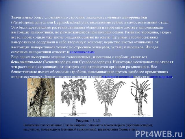 Значительно более сложными по строению являлись семенные папоротники (Pteridospermophyta или Lyginodendrophyta), выделяемые сейчас в самостоятельный отдел. Это были древовидные растения, внешним обликом и строением листьев напоминавшие настоящие пап…