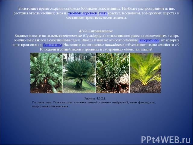 В настоящее время сохранилось около 600 видов голосеменных. Наиболее распространены из них растения отдела хвойных; леса из хвойных деревьев (тайга) растут, в основном, в умеренных широтах и составляют треть всех лесов планеты. 4.3.2. Саговниковые В…