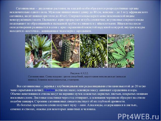 Саговниковые – двудомные растения; на каждой особи образуются репродуктивные органы исключительно одного пола. Мужские шишки имеют длину до 80см, женские – до 1м (у африканского саговника; весят шишки при этом до 40кг). Сперматозоиды цератозамы м…