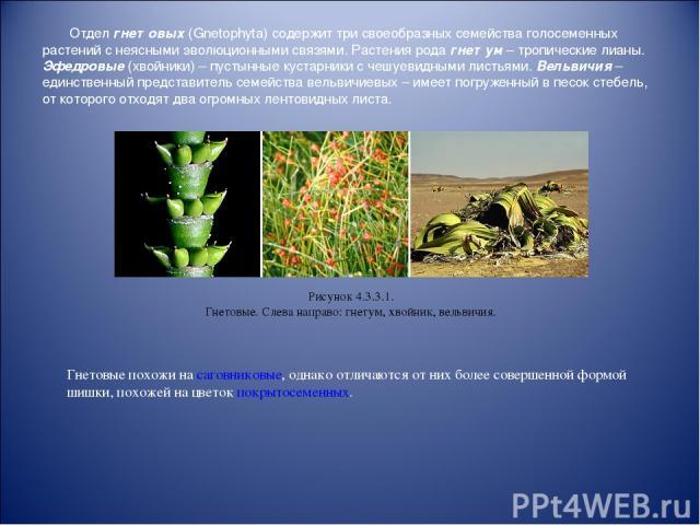 Отдел гнетовых (Gnetophyta) содержит три своеобразных семейства голосеменных растений с неясными эволюционными связями. Растения рода гнетум – тропические лианы. Эфедровые (хвойники) – пустынные кустарники с чешуевидными листьями. Вельвичия – единст…