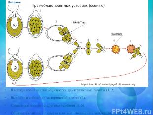 В материнской клетке образуются двужгутиковые гаметы (1, 2). Выходят из оболочки