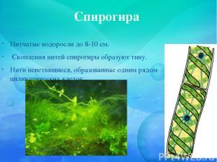 Спирогира Нитчатые водоросли до 8-10 см. Скопления нитей спирогиры образуют тину