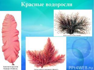 Красные водоросли