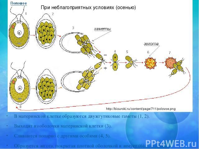 В материнской клетке образуются двужгутиковые гаметы (1, 2). Выходят из оболочки материнской клетки (3). Сливаются попарно с другими особями (4, 5). Образуется зигота, покрытая плотной оболочкой и зимует (6). Весной благоприятные условия дают возмож…