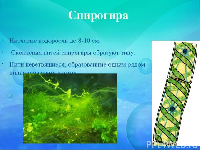 Спирогира Нитчатые водоросли до 8-10 см. Скопления нитей спирогиры образуют тину. Нити неветвящиеся, образованные одним рядом цилиндрических клеток.