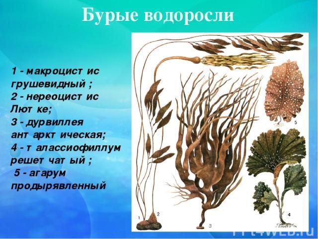 Бурые водоросли 1 - макроцистис грушевидный ; 2 - нереоцистис Лютке; 3 - дурвиллея антарктическая; 4 - талассиофиллум решетчатый ; 5 - агарум продырявленный