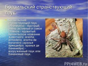 Бразильский странствующий паук Бразильский странствующий паук (Phoneutria) - быс