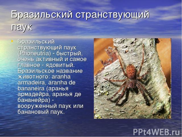 Бразильский странствующий паук Бразильский странствующий паук (Phoneutria) - быстрый, очень активный и самое главное - ядовитый. Бразильское название животного: aranha armadeira, aranha de bananeira (аранья армадейра, аранья де бананейра) - вооружен…