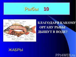 Рыбы 10 БЛАГОДАРЯ КАКОМУ ОРГАНУ РЫБЫ ДЫШУТ В ВОДЕ? ЖАБРЫ