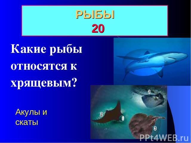 РЫБЫ 20 Какие рыбы относятся к хрящевым? Акулы и скаты