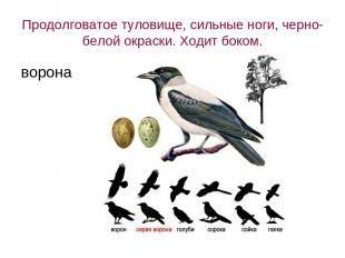 Продолговатое туловище, сильные ноги, черно-белой окраски. Ходит боком. ворона