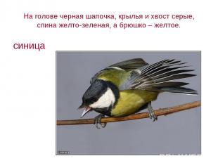 На голове черная шапочка, крылья и хвост серые, спина желто-зеленая, а брюшко –