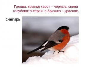 Голова, крылья хвост – черные, спина голубовато-серая, а брюшко – красное. снеги