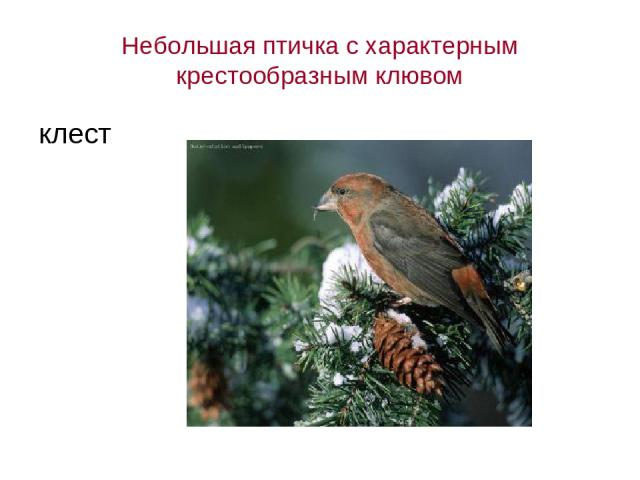 Небольшая птичка с характерным крестообразным клювом клест