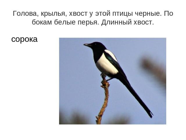 Голова, крылья, хвост у этой птицы черные. По бокам белые перья. Длинный хвост. сорока