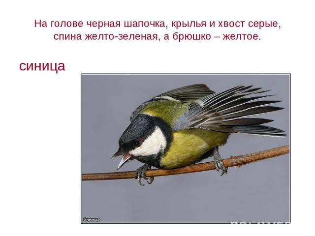 На голове черная шапочка, крылья и хвост серые, спина желто-зеленая, а брюшко – желтое. синица