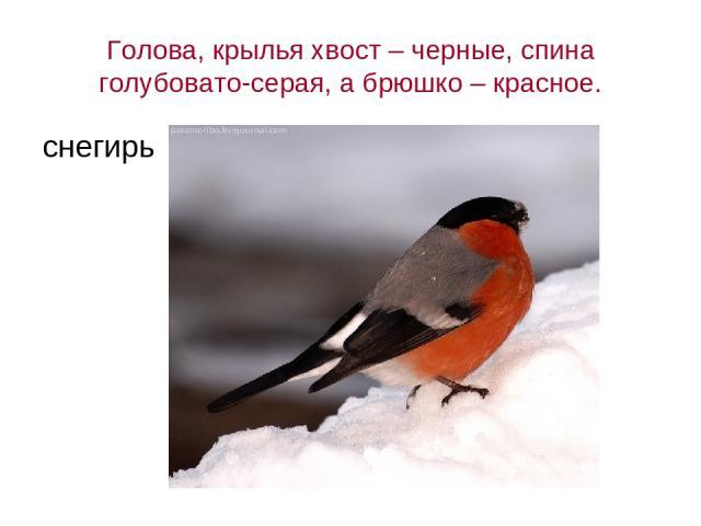 Голова, крылья хвост – черные, спина голубовато-серая, а брюшко – красное. снегирь