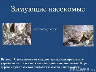 Зимующие насекомые КЛОП-СОЛДАТИК Вывод: С наступлением холодов насекомые прячутс