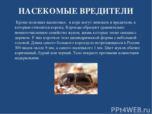 НАСЕКОМЫЕ ВРЕДИТЕЛИ Кроме полезных насекомых. в коре могут зимовать и вредители, к которым относится короед. Короеды образуют сравнительно немногочисленное семейство жуков, жизнь которых тесно связана с деревом. У них короткое тело цилиндрической фо…