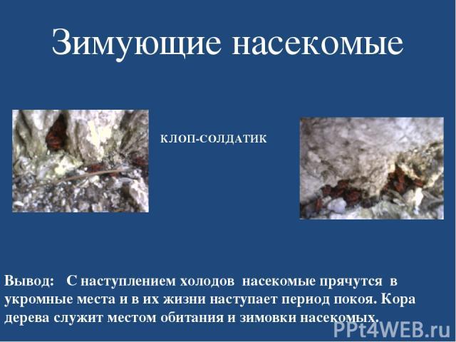 Зимующие насекомые КЛОП-СОЛДАТИК Вывод: С наступлением холодов насекомые прячутся в укромные места и в их жизни наступает период покоя. Кора дерева служит местом обитания и зимовки насекомых.
