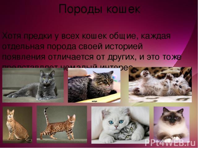 Породы кошек Хотя предки у всех кошек общие, каждая отдельная порода своей историей появления отличается от других, и это тоже представляет немалый интерес.