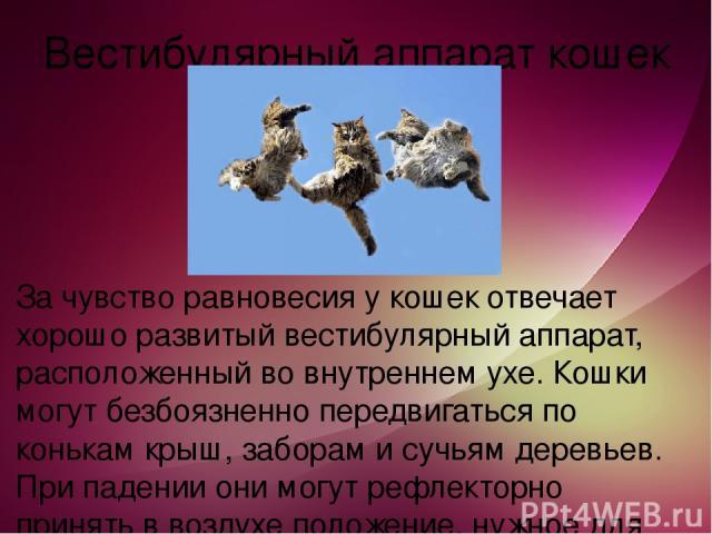 Вестибулярный аппарат кошек За чувство равновесия у кошек отвечает хорошо развитый вестибулярный аппарат, расположенный во внутреннем ухе. Кошки могут безбоязненно передвигаться по конькам крыш, заборам и сучьям деревьев. При падении они могут рефле…