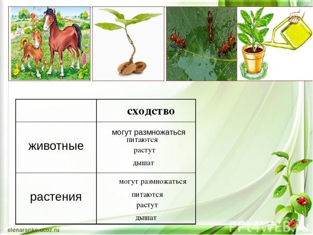 могут размножаться могут размножаться питаются питаются растут растут дышат дышат сходство животные растения