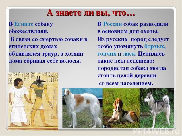 А знаете ли вы, что… В Египте собаку обожествляли. В связи со смертью собаки в египетских домах объявлялся траур, а хозяин дома сбривал себе волосы. В России собак разводили в основном для охоты. Из русских пород следует особо упомянуть борзых, гонч…