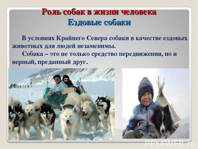 Роль собак в жизни человека Ездовые собаки В условиях Крайнего Севера собаки в качестве ездовых животных для людей незаменимы. Собака – это не только средство передвижения, но и верный, преданный друг.