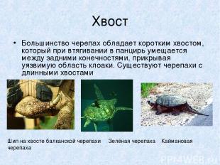 Хвост Большинство черепах обладает коротким хвостом, который при втягивании в па