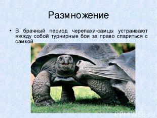 Размножение В брачный период черепахи-самцы устраивают между собой турнирные бои