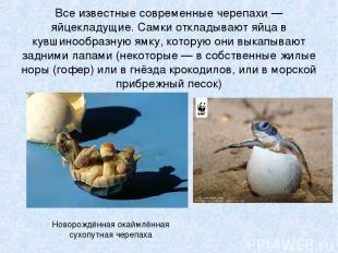Все известные современные черепахи — яйцекладущие. Самки откладывают яйца в кувш