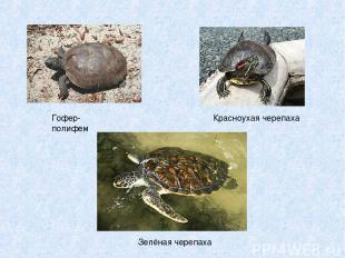 Гофер-полифем Красноухая черепаха Зелёная черепаха