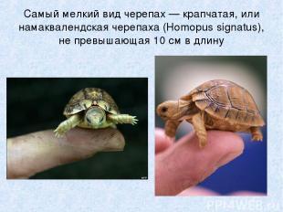 Самый мелкий вид черепах — крапчатая, или намаквалендская черепаха (Homopus sign