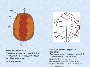 Карапакс черепахи Роговые щитки: a — шейный; b — краевые; c — позвоночные; d — р