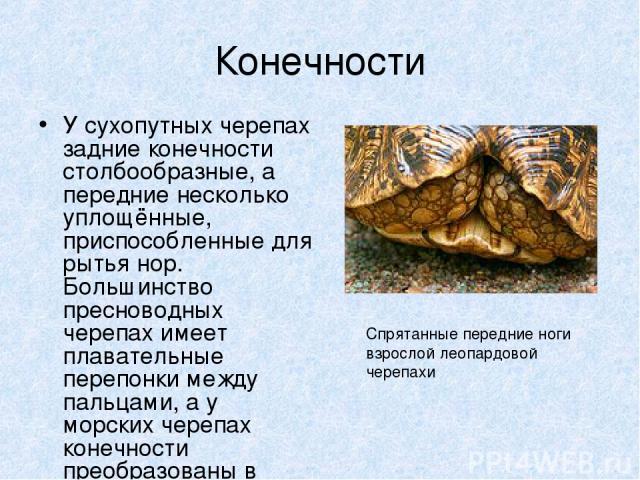 Конечности У сухопутных черепах задние конечности столбообразные, а передние несколько уплощённые, приспособленные для рытья нор. Большинство пресноводных черепах имеет плавательные перепонки между пальцами, а у морских черепах конечности преобразов…
