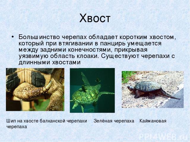 Хвост Большинство черепах обладает коротким хвостом, который при втягивании в панцирь умещается между задними конечностями, прикрывая уязвимую область клоаки. Существуют черепахи с длинными хвостами Шип на хвосте балканской черепахи Зелёная черепаха…