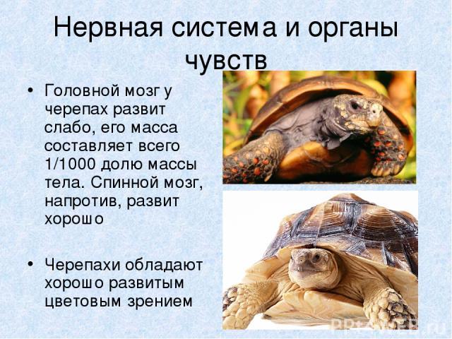 Нервная система и органы чувств Головной мозг у черепах развит слабо, его масса составляет всего 1/1000 долю массы тела. Спинной мозг, напротив, развит хорошо Черепахи обладают хорошо развитым цветовым зрением