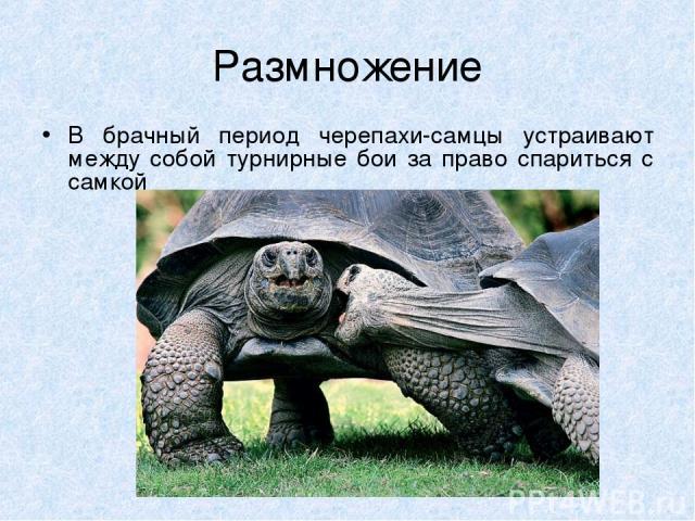 Размножение В брачный период черепахи-самцы устраивают между собой турнирные бои за право спариться с самкой