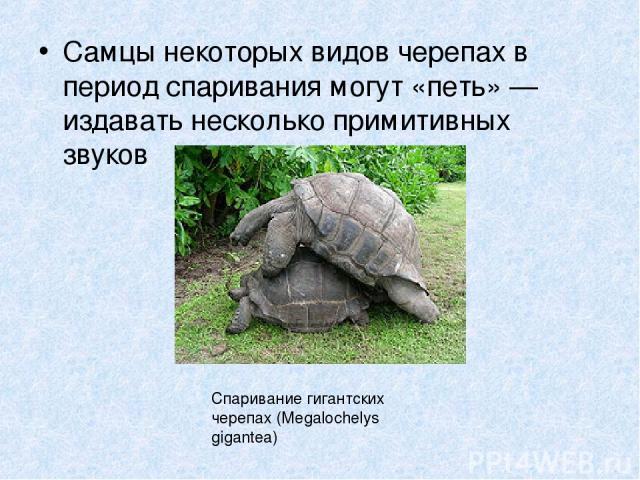 Самцы некоторых видов черепах в период спаривания могут «петь» — издавать несколько примитивных звуков Спаривание гигантских черепах (Megalochelys gigantea)