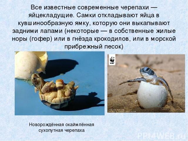 Все известные современные черепахи — яйцекладущие. Самки откладывают яйца в кувшинообразную ямку, которую они выкапывают задними лапами (некоторые — в собственные жилые норы (гофер) или в гнёзда крокодилов, или в морской прибрежный песок) Новорождён…