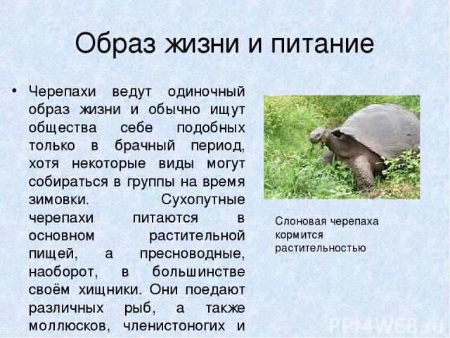 Образ жизни и питание Черепахи ведут одиночный образ жизни и обычно ищут общества себе подобных только в брачный период, хотя некоторые виды могут собираться в группы на время зимовки. Сухопутные черепахи питаются в основном растительной пищей, а пр…