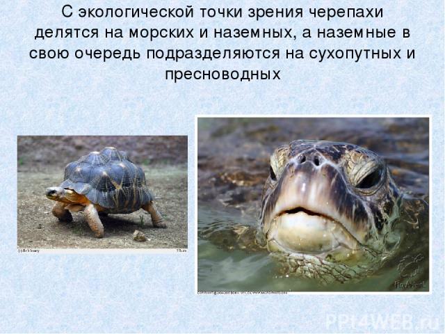 С экологической точки зрения черепахи делятся на морских и наземных, а наземные в свою очередь подразделяются на сухопутных и пресноводных