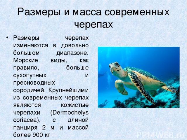 Размеры и масса современных черепах Размеры черепах изменяются в довольно большом диапазоне. Морские виды, как правило, больше сухопутных и пресноводных сородичей. Крупнейшими из современных черепах являются кожистые черепахи (Dermochelys coriacea),…