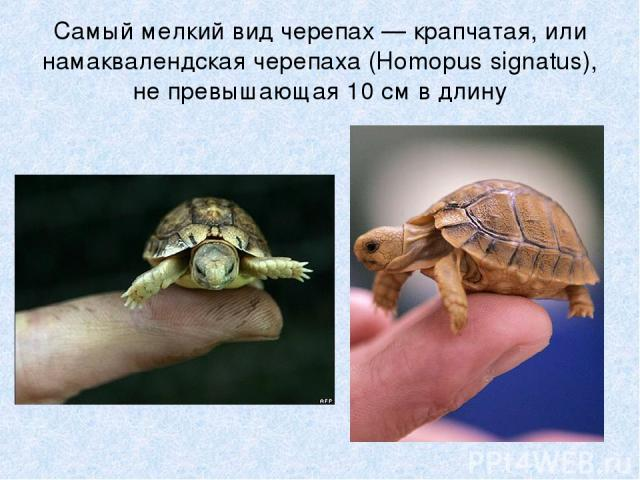 Самый мелкий вид черепах — крапчатая, или намаквалендская черепаха (Homopus signatus), не превышающая 10 см в длину