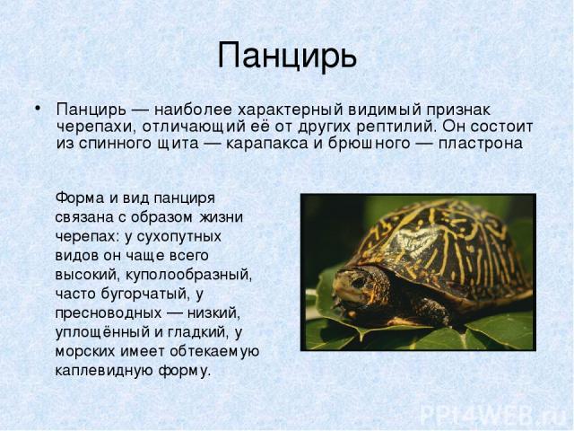 Панцирь Панцирь — наиболее характерный видимый признак черепахи, отличающий её от других рептилий. Он состоит из спинного щита — карапакса и брюшного — пластрона Форма и вид панциря связана с образом жизни черепах: у сухопутных видов он чаще всего в…
