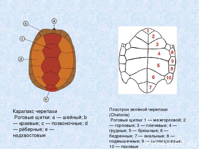 Карапакс черепахи Роговые щитки: a — шейный; b — краевые; c — позвоночные; d — рёберные; e — надхвостовые Пластрон зелёной черепахи (Chelonia) Роговые щитки: 1 — межгорловой; 2 — горловые; 3 — плечевые; 4 — грудные; 5 — брюшные; 6 — бедренные; 7 — а…